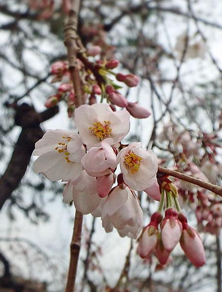 I枝垂れ桜
