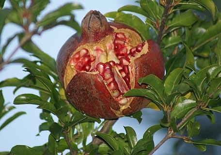ザクロ ザクロって、けっこう庭木に使われているようだ。あちこちでハジけている。...  poko