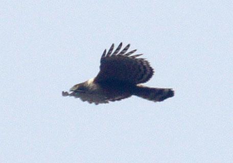 Spizaetus_nipalensis