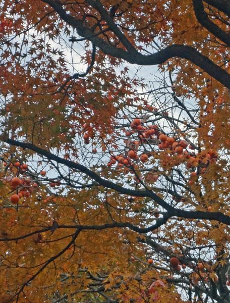 紅葉と柿の木