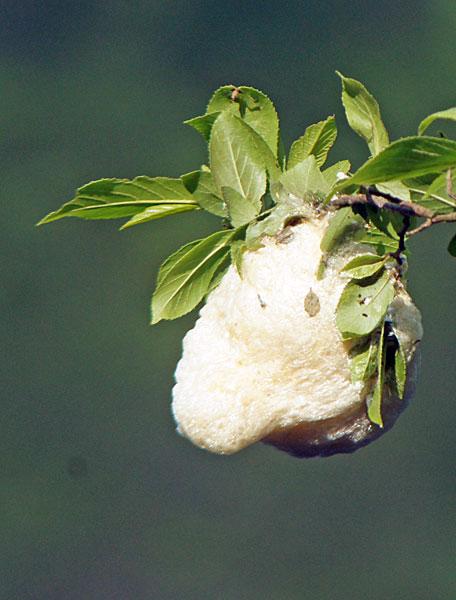 モリアオガエルの卵塊