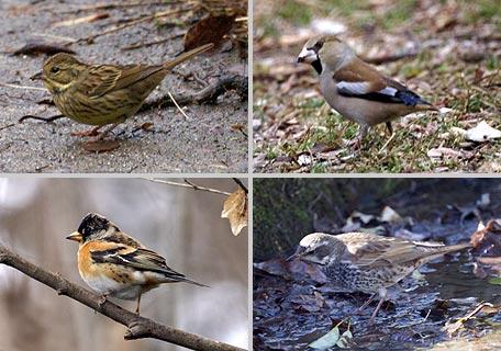 常連の冬鳥
