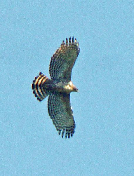 Nisaetus nipalensis
