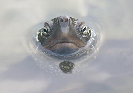 クサガメの画像 p1_22