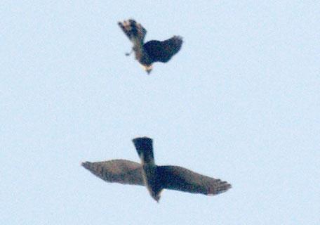 タカの空中戦