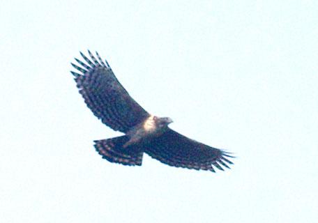 Spizaetus nipalensis